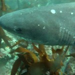 Dive with Sevengill Cowsharks at Millers Point